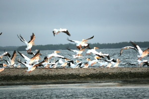 White Pelicans in Charlotte Harbor & the Gulf Islands, Florida